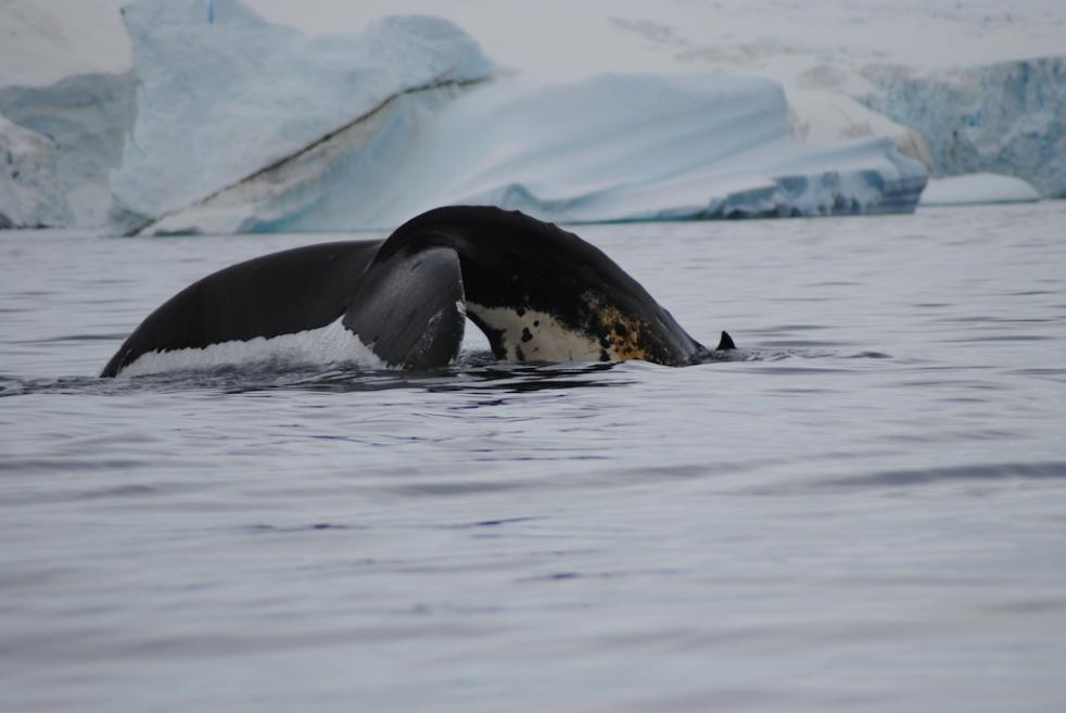 Antarctic Polar Circle - Whale Watching