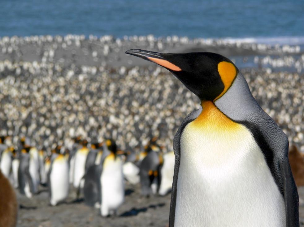 Wild Bird Penguin Penguin picture Bird Penguin image Antarctica South Georgia Antarctic Penguin Photo Colorful Bird King Penguin